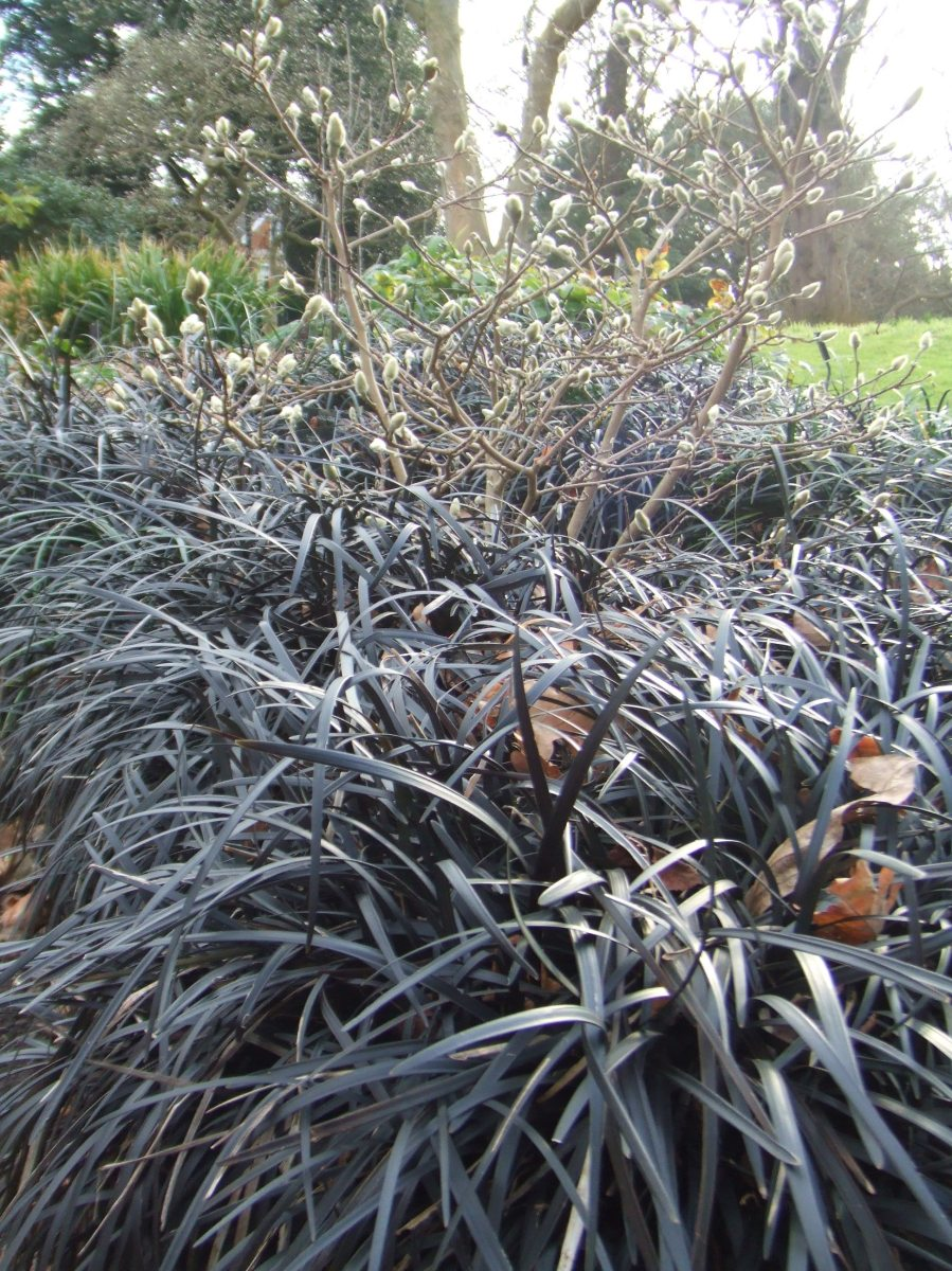 ophiopogon planiscapus nigrescens make the most of your garden. Black Bedroom Furniture Sets. Home Design Ideas