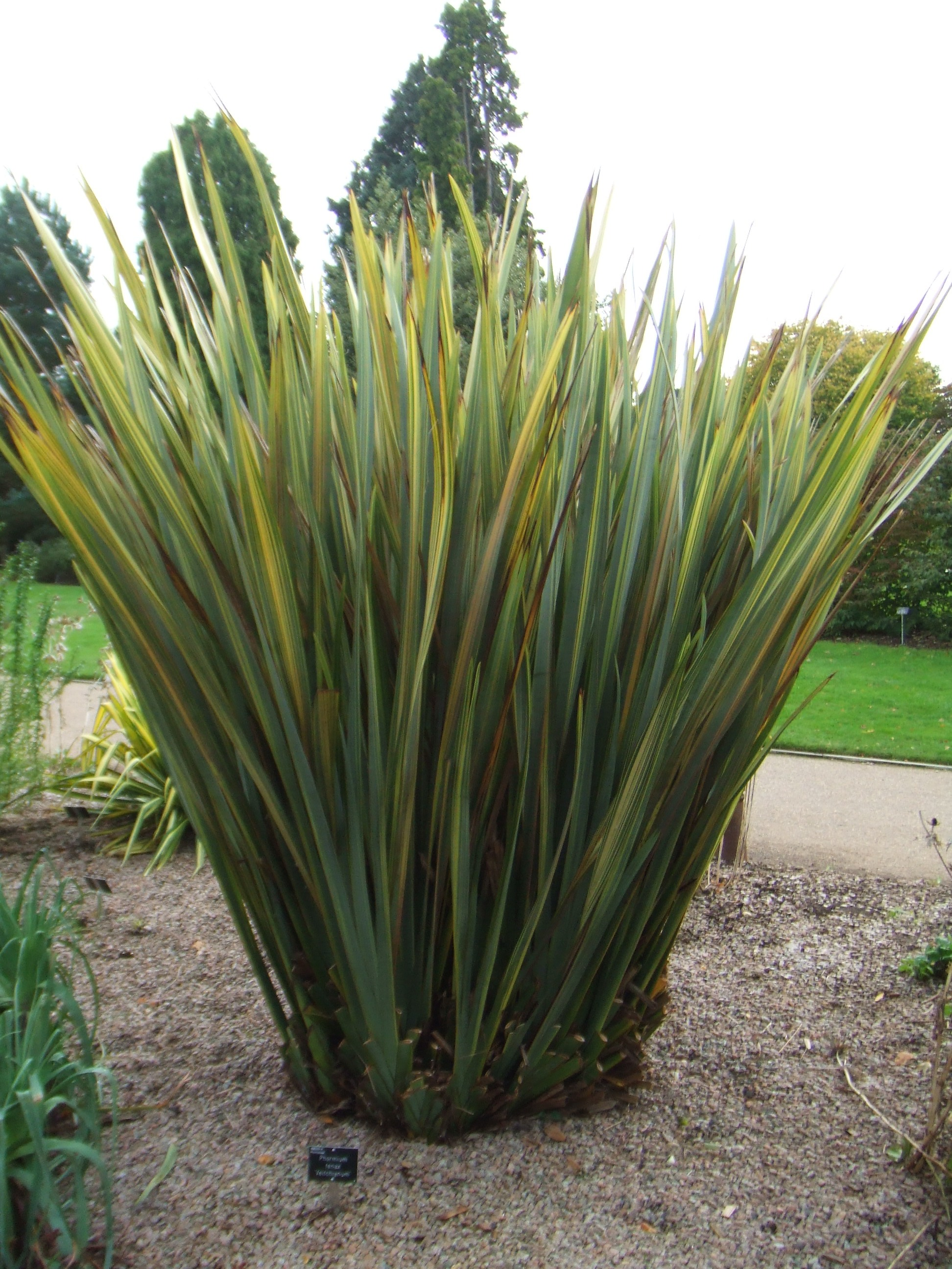phormium tenax veitchianum make the most of your garden. Black Bedroom Furniture Sets. Home Design Ideas