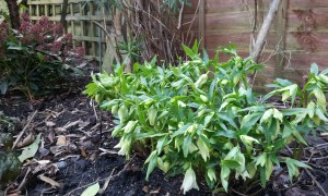 Helleborus niger with loads of lovely flowers starting to open in midwinter